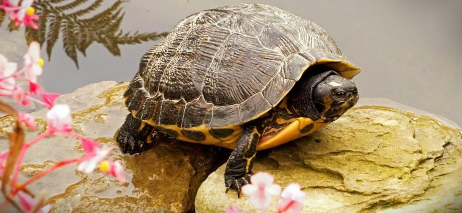 Kinds Of Family Pet Turtles